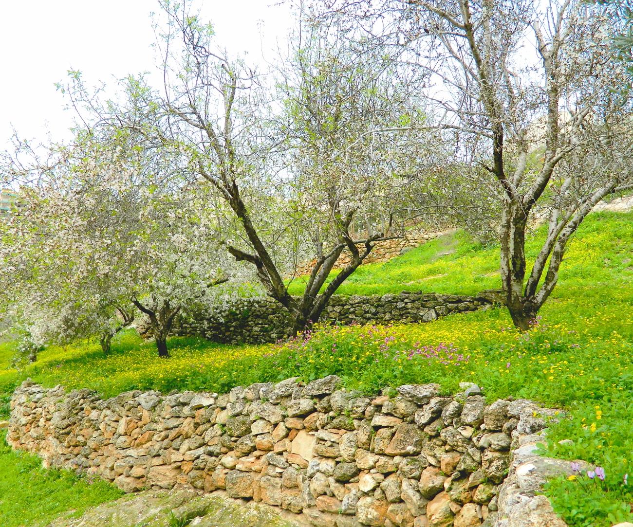 nazareth almond blossom